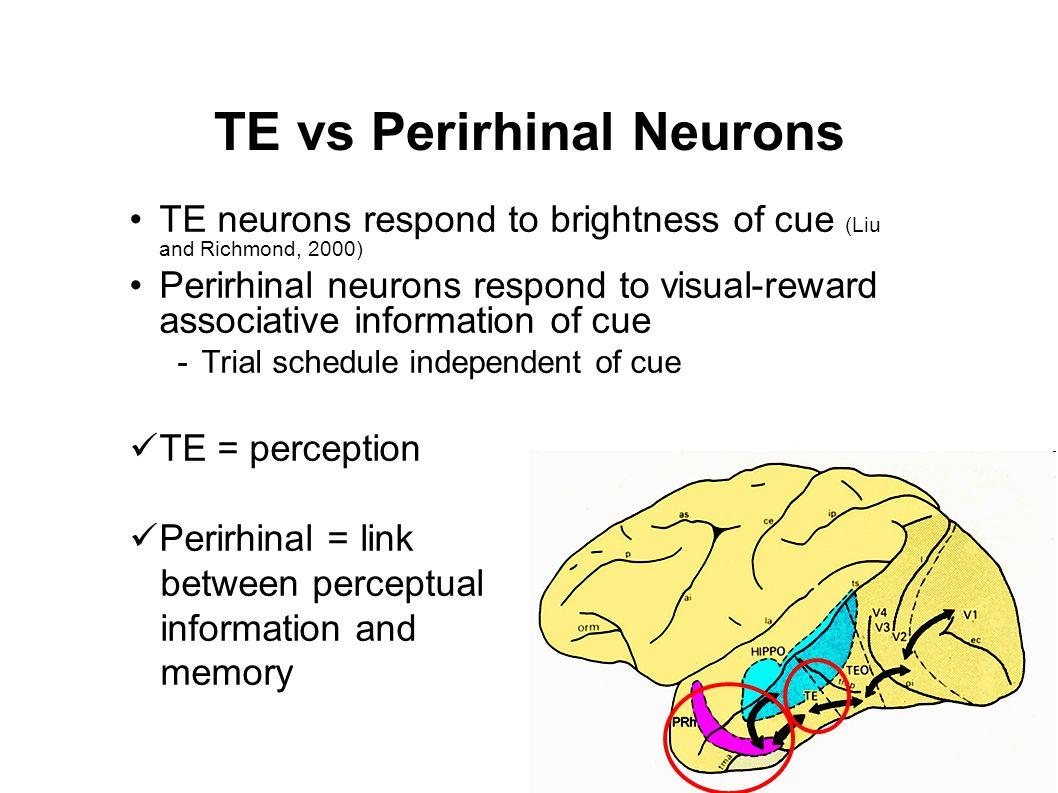 TE vs Perirhinal Neurons TE neurons respond to brightness of cue (Liu and Richmond, 2000) Perirhinal neurons respond to visual-reward associative info