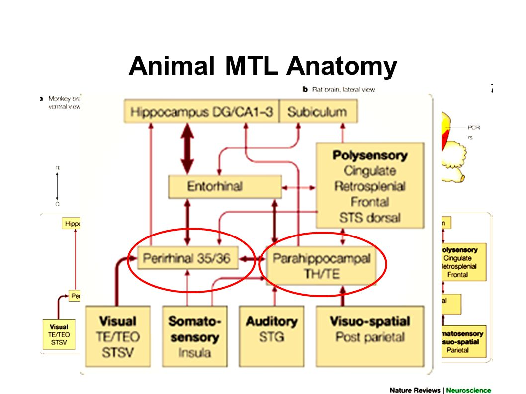 Animal MTL Anatomy