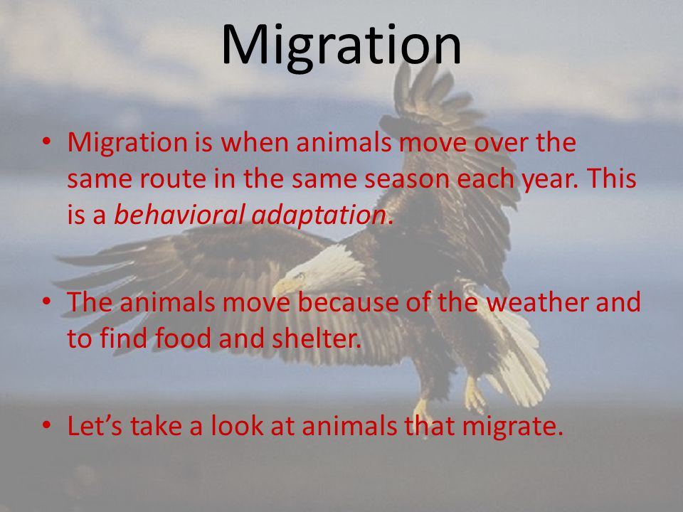 Migration Migration is when animals move over the same route in the same season each year. This is a behavioral adaptation. The animals move because o