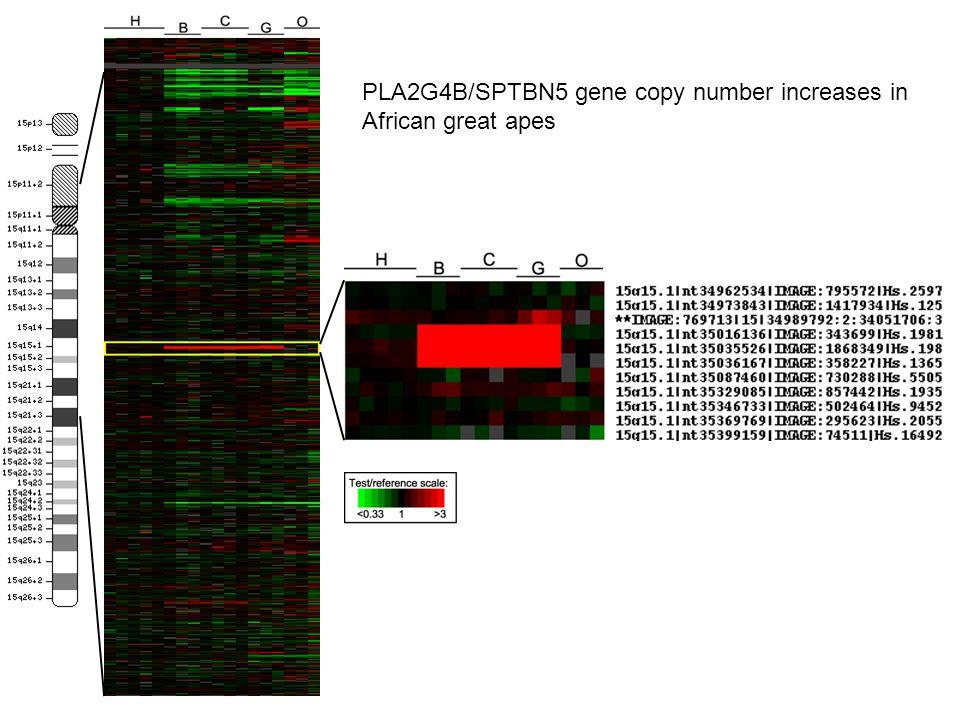 Human GorillaOrang Chimp Bonobo IMAGE:814107 IMAGE:261219 IMAGE:665496 H B C G O BAC-FISH with clone containing SLC35F5 gene