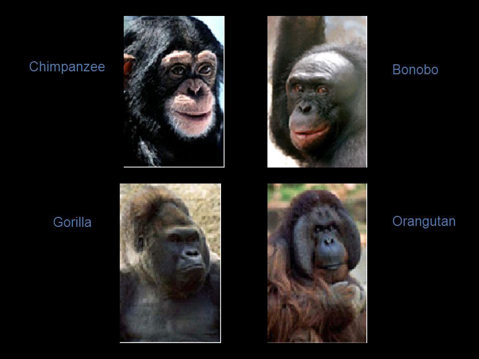 Primate Evolution New World Monkeys (e.g.squirrel monkey,spider monkey) Old World Monkeys (e.g.