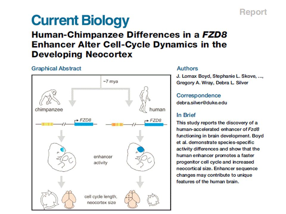 HAR1F Gene Marques-Bonet, et al Ann Rev Genomics 2009