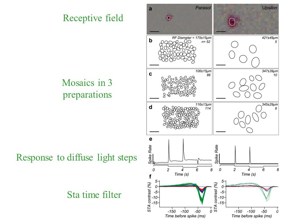 Receptive field Mosaics in 3 preparations Response to diffuse light steps Sta time filter