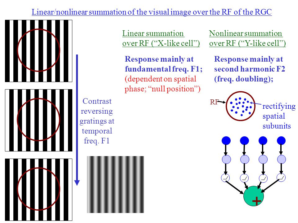 Linear/nonlinear summation of the visual image over the RF of the RGC Linear summation over RF ( X-like cell ) Nonlinear summation over RF ( Y-like cell ) Response mainly at fundamental freq.