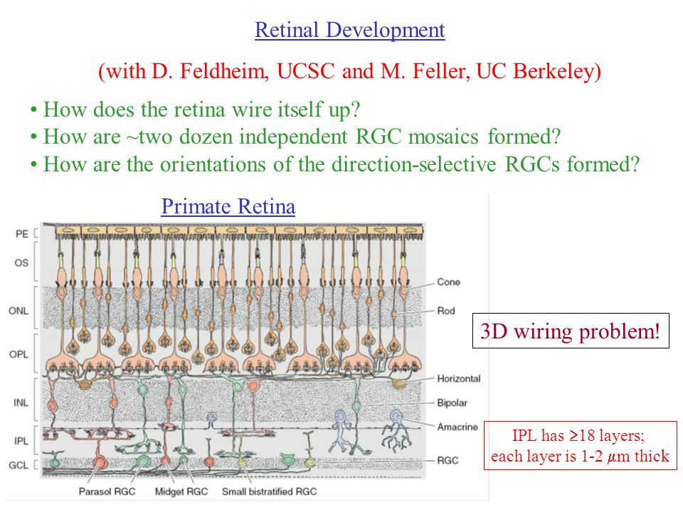Retinal Development (with D. Feldheim, UCSC and M.