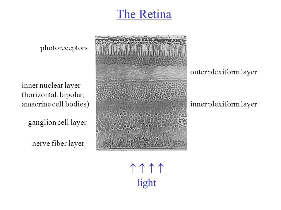 The Retina   light photoreceptors ganglion cell layer nerve fiber layer inner nuclear layer (horizontal, bipolar, amacrine cell bodies) outer plexiform layer inner plexiform layer