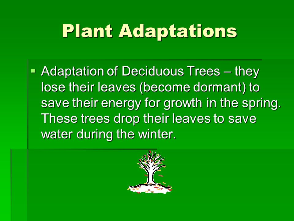 Plant Adaptations  The Cactus and the Evergreen both have Adaptations.