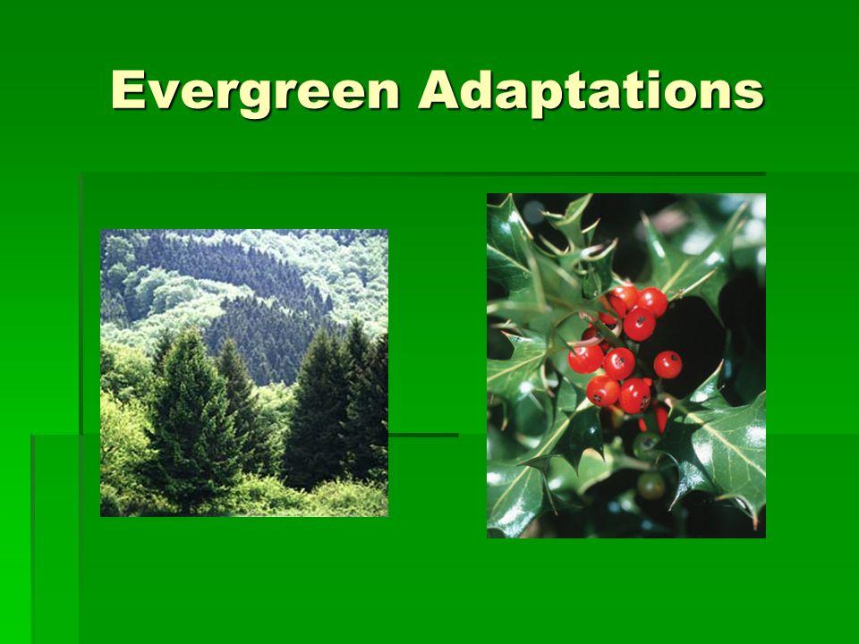 Evergreen Adaptations