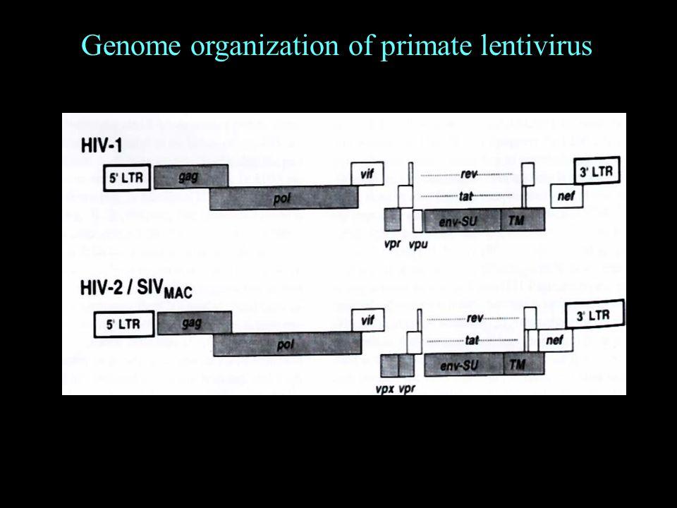 Genome organization of primate lentivirus