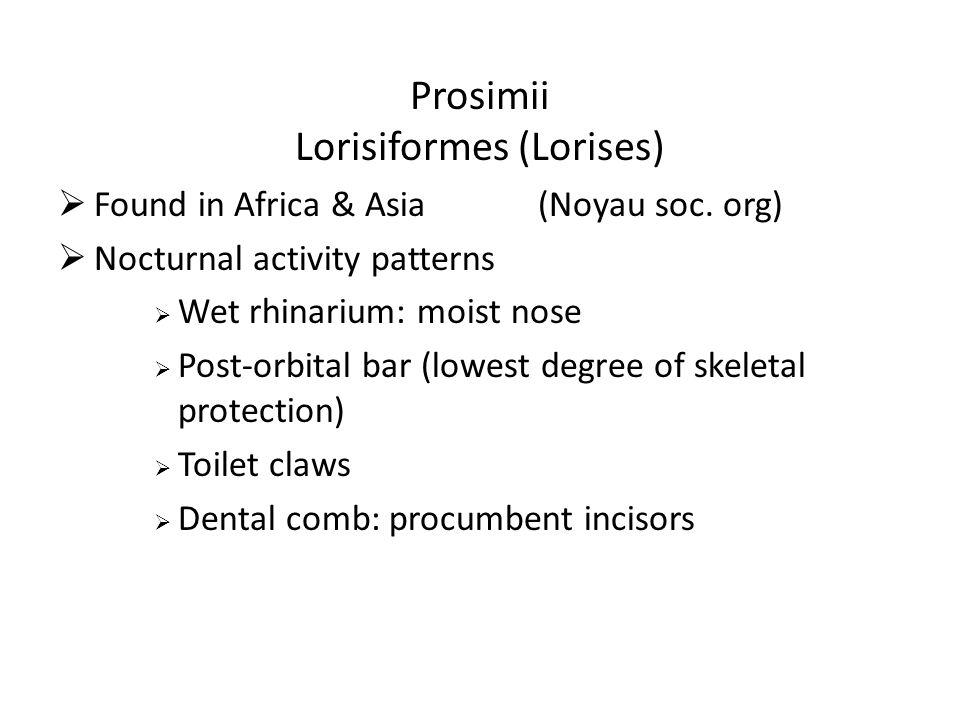 Prosimii Lorisiformes (Lorises)  Found in Africa & Asia(Noyau soc.