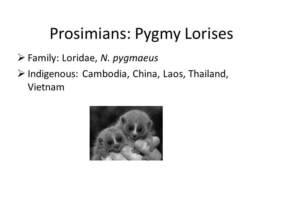 Prosimians: Pygmy Lorises  Family: Loridae, N.