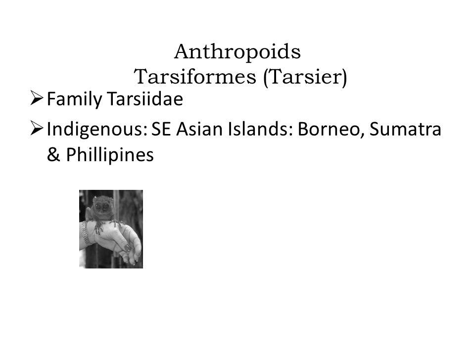 Anthropoids Tarsiformes (Tarsier)  Family Tarsiidae  Indigenous: SE Asian Islands: Borneo, Sumatra & Phillipines