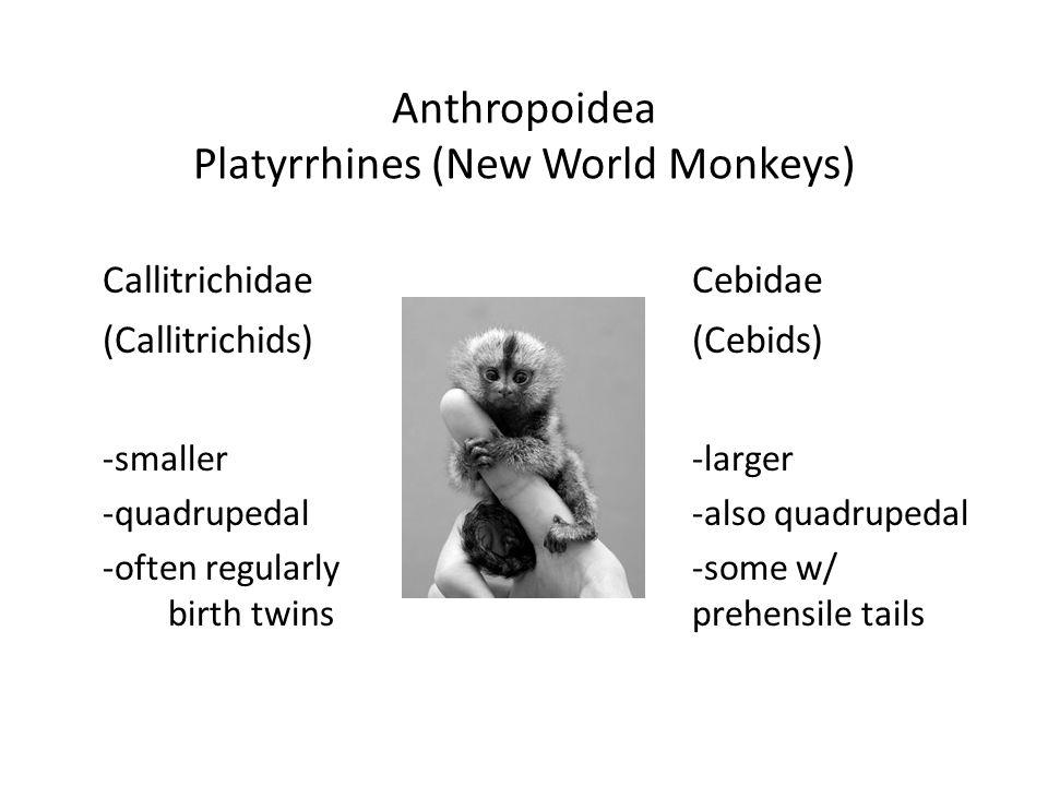 Anthropoidea Platyrrhines (New World Monkeys) CallitrichidaeCebidae (Callitrichids)(Cebids) -smaller-larger -quadrupedal-also quadrupedal -often regularly-some w/ birth twinsprehensile tails