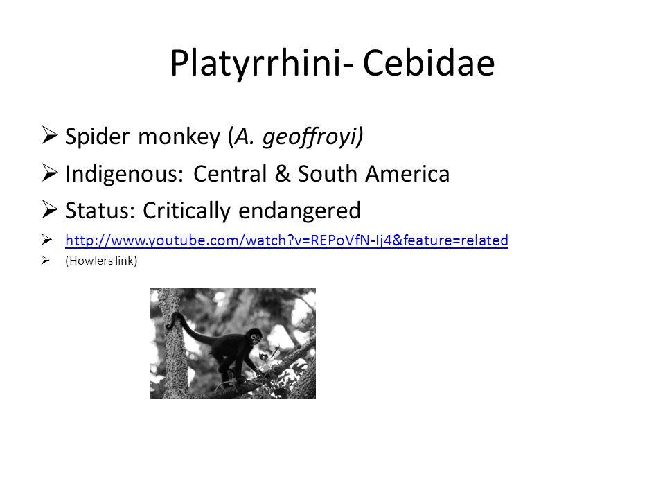 Platyrrhini- Cebidae SSpider monkey (A. geoffroyi) IIndigenous: Central & South America SStatus: Critically endangered hhttp://www.youtube.com