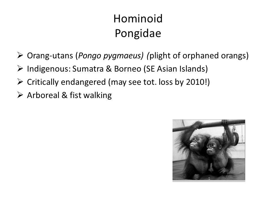 Hominoid Pongidae  Orang-utans (Pongo pygmaeus) (plight of orphaned orangs)  Indigenous: Sumatra & Borneo (SE Asian Islands)  Critically endangered (may see tot.