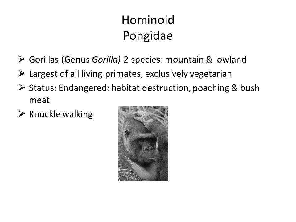 Hominoid Pongidae  Gorillas (Genus Gorilla) 2 species: mountain & lowland  Largest of all living primates, exclusively vegetarian  Status: Endangered: habitat destruction, poaching & bush meat  Knuckle walking