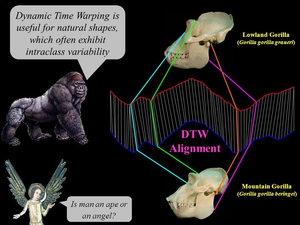 Mountain Gorilla (Gorilla gorilla beringei) Lowland Gorilla (Gorilla gorilla graueri) DTW Alignment Is man an ape or an angel? Dynamic Time Warping is