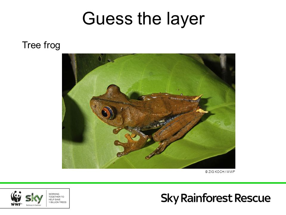 Tree frog Guess the layer © ZIG KOCH / WWF