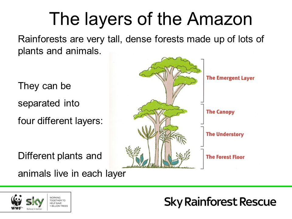 The layers of the Amazon ppt download – Layers of the Rainforest Worksheet