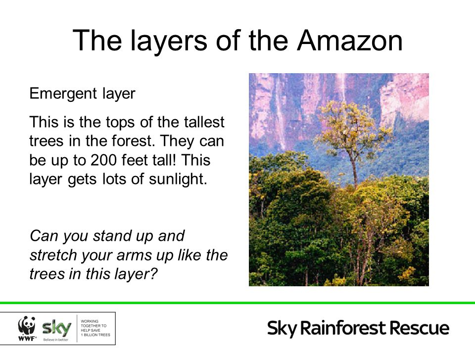 The layers of the Amazon Emergent layer This is the tops of the tallest trees in the forest. They can be up to 200 feet tall! This layer gets lots of