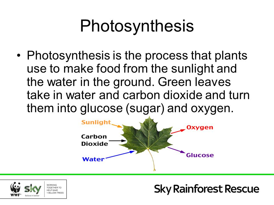 Photosynthesis Photosynthesis is the process that plants use to make food from the sunlight and the water in the ground. Green leaves take in water an