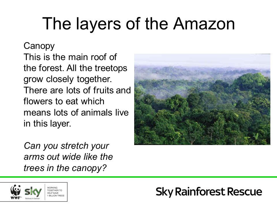 The layers of the Amazon Understory This layer is made up of smaller trees and plants.