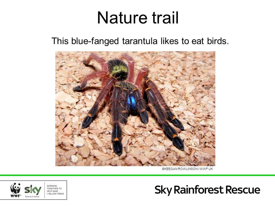 Nature trail This blue-fanged tarantula likes to eat birds. ©KEEGAN ROWLINSON / WWF UK