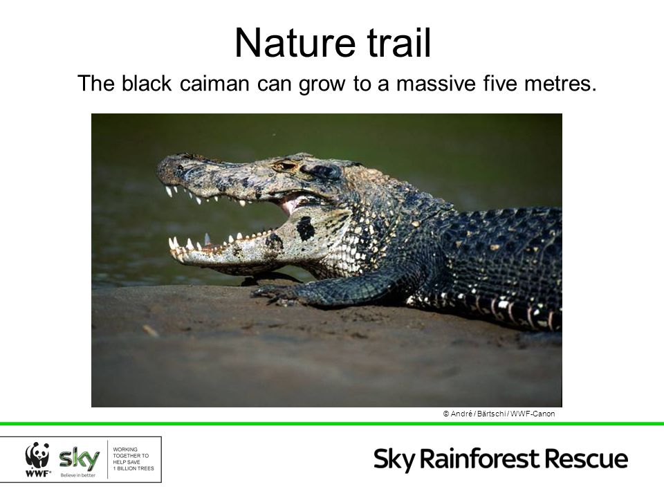 Nature trail The black caiman can grow to a massive five metres. © André / Bärtschi / WWF-Canon