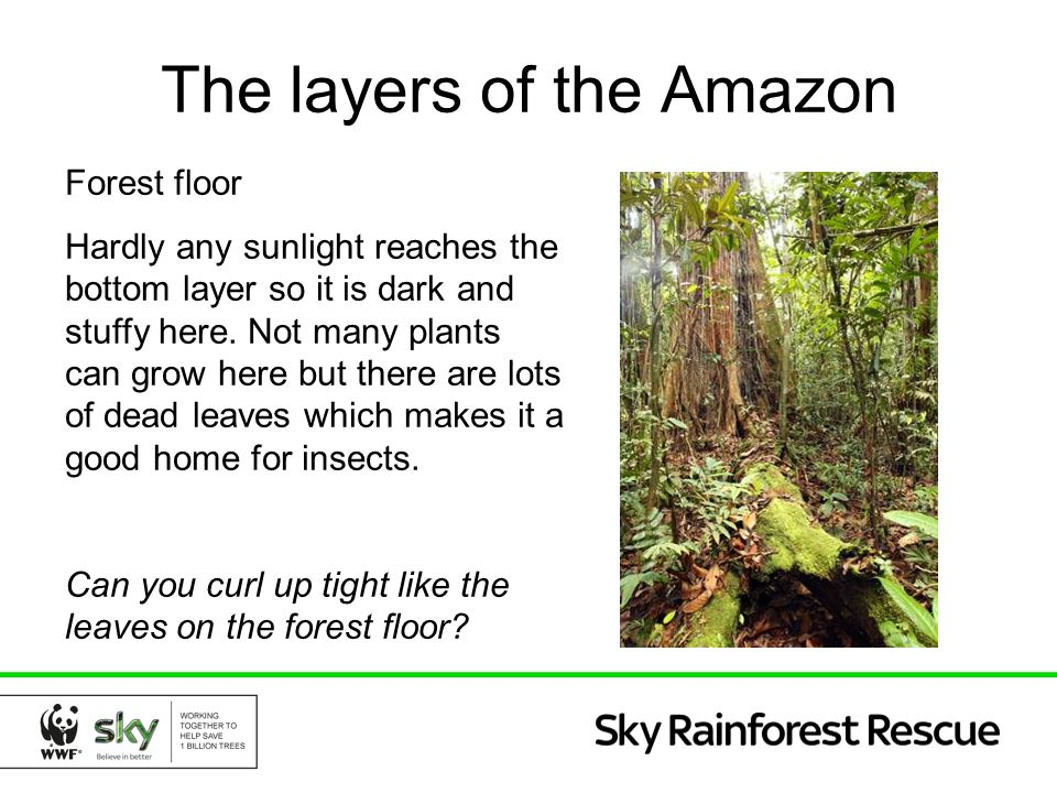 The layers of the Amazon Forest floor Hardly any sunlight reaches the bottom layer so it is dark and stuffy here. Not many plants can grow here but th