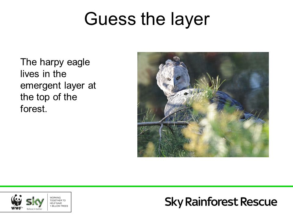The harpy eagle lives in the emergent layer at the top of the forest. Guess the layer