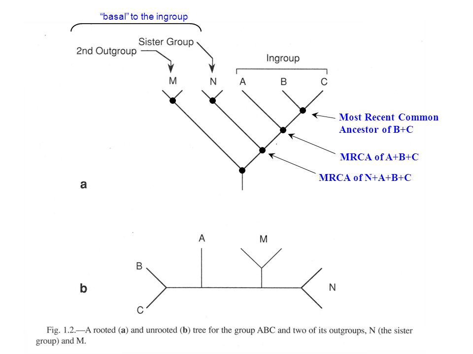 "Most Recent Common Ancestor of B+C MRCA of A+B+C MRCA of N+A+B+C ""basal"" to the ingroup"