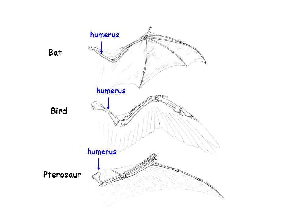 Bat Bird Pterosaur humerus