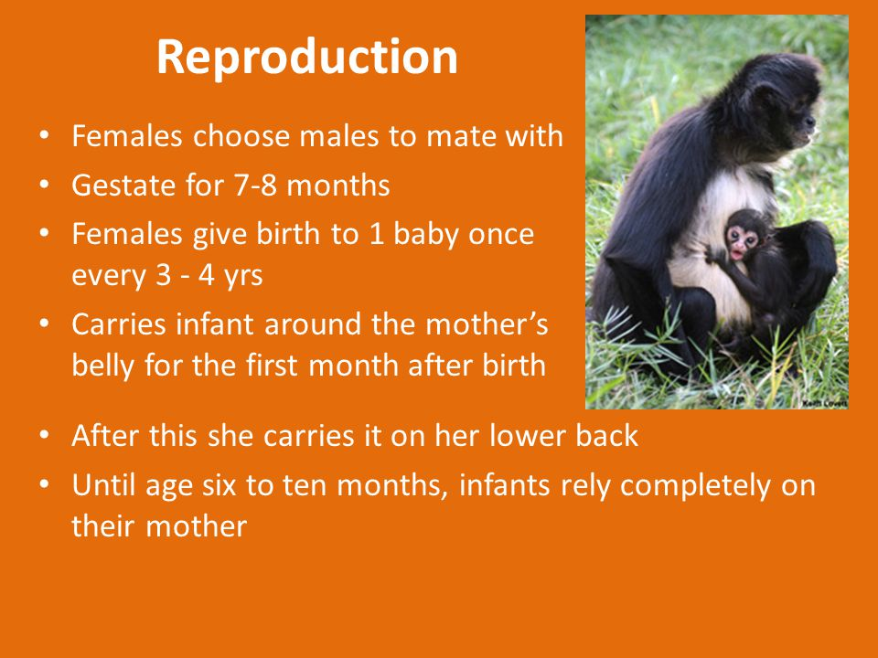 Reproduction Females choose males to mate with Gestate for 7-8 months Females give birth to 1 baby once every 3 - 4 yrs Carries infant around the mother's belly for the first month after birth After this she carries it on her lower back Until age six to ten months, infants rely completely on their mother