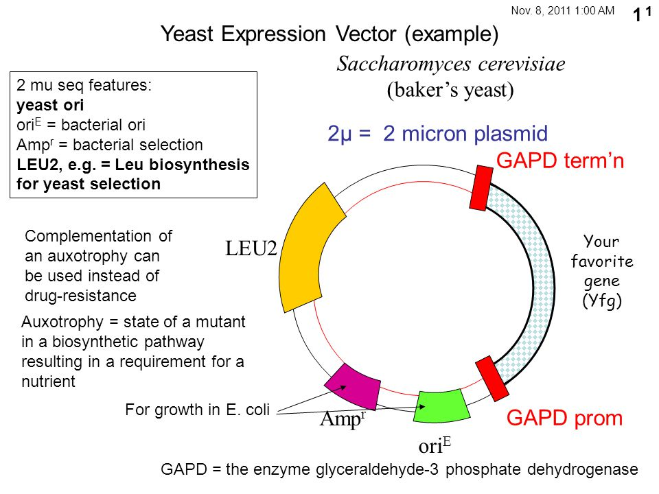 11 1 Yeast Expression Vector (example) 2μ = 2 micron plasmid 2 mu seq features: yeast ori ori E = bacterial ori Amp r = bacterial selection LEU2, e.g.