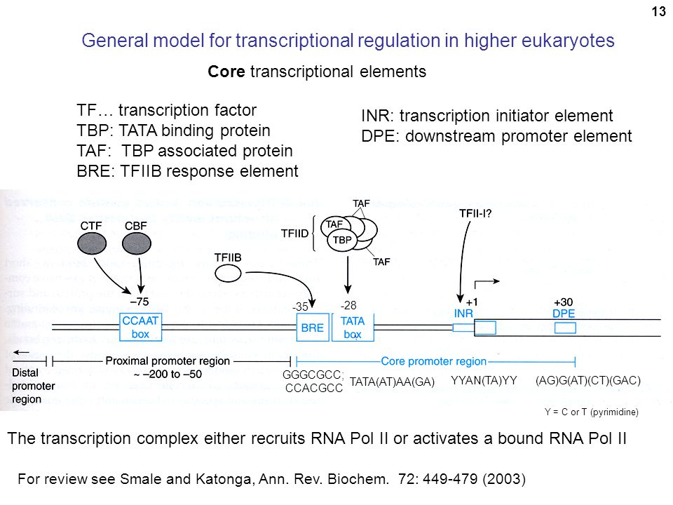 13 General model for transcriptional regulation in higher eukaryotes TF… transcription factor TBP: TATA binding protein TAF: TBP associated protein BR