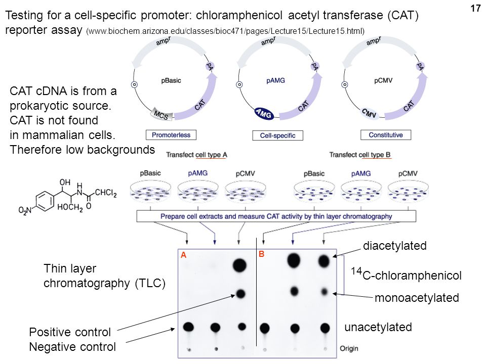 17 diacetylated monoacetylated Testing for a cell-specific promoter: chloramphenicol acetyl transferase (CAT) reporter assay (www.biochem.arizona.edu/