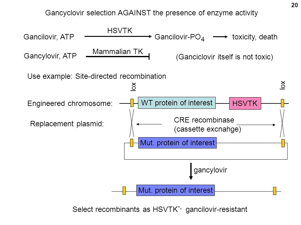 20 HSVTK Gancilovir, ATPGancilovir-PO 4 Mammalian TK Gancylovir, ATP toxicity, death Use example: Site-directed recombination Engineered chromosome: W