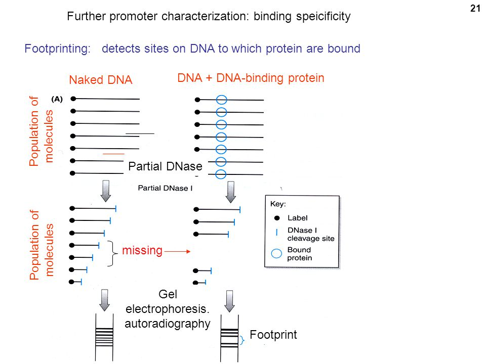 21 Footprinting: detects sites on DNA to which protein are bound Naked DNA DNA + DNA-binding protein Population of molecules missing Population of mol