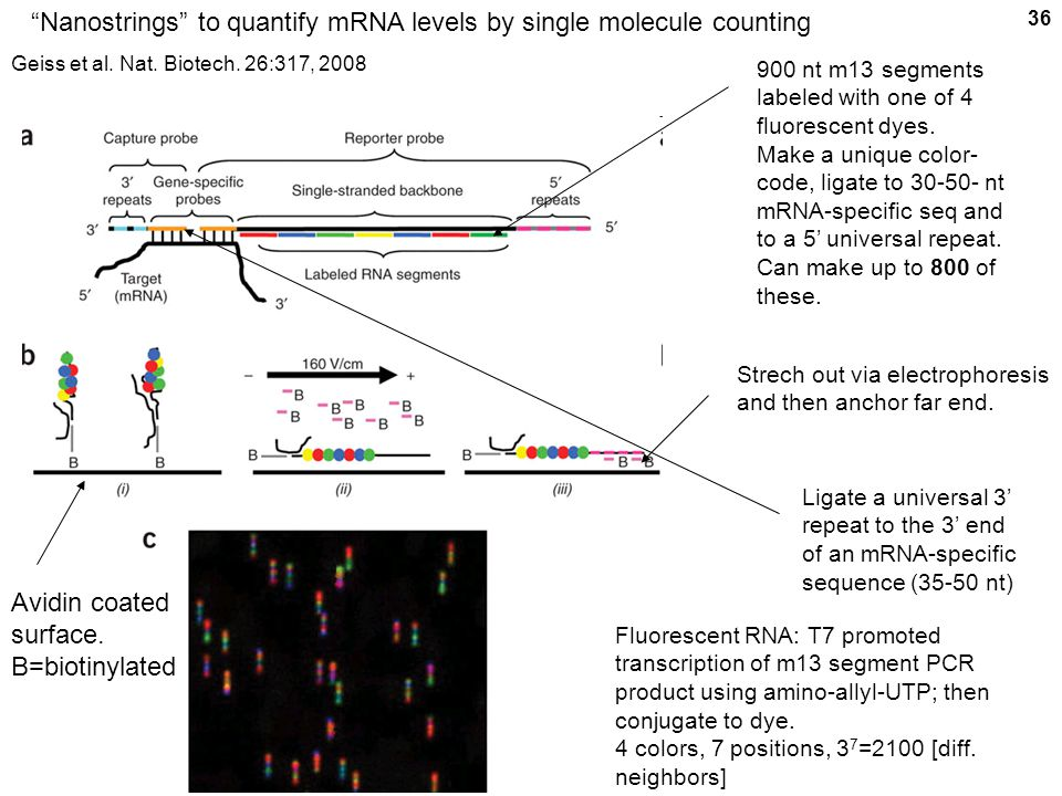 "36 ""Nanostrings"" to quantify mRNA levels by single molecule counting 900 nt m13 segments labeled with one of 4 fluorescent dyes. Make a unique color-"