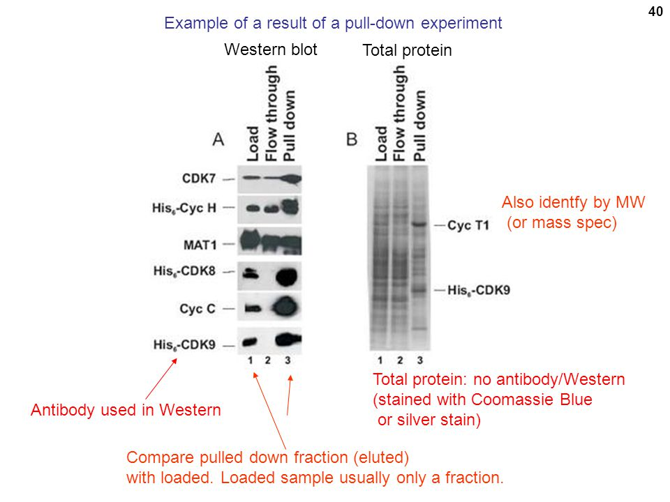 40 Example of a result of a pull-down experiment Antibody used in Western Total protein: no antibody/Western (stained with Coomassie Blue or silver st
