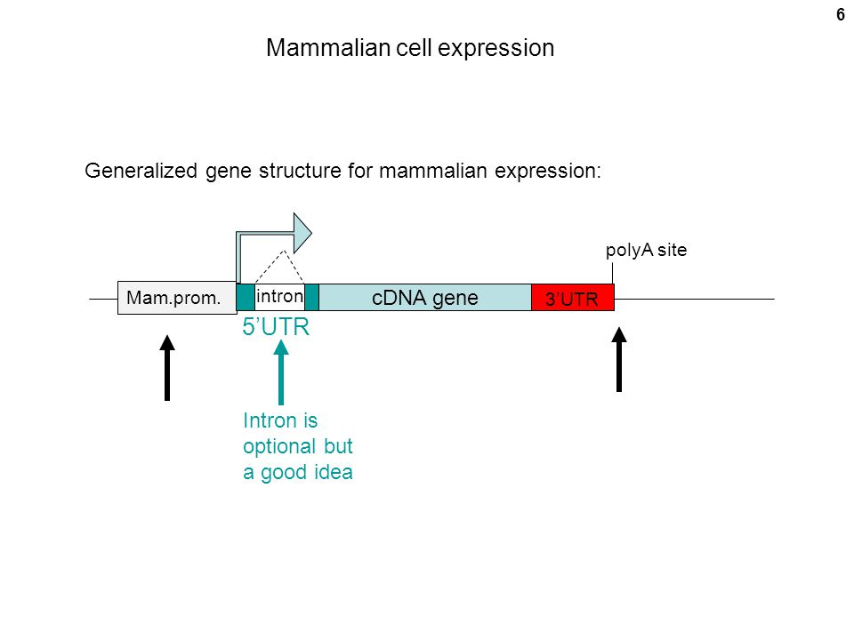 7 Popular mammalian cell promoters SV40 LargeT Ag (Simian Virus 40) RSV LTR (Rous sarcoma virus) MMTV (steroid inducible) (Mouse mammary tumor virus) HSV TK (low expression) (Herpes simplex virus) Metallothionein (metal inducible, Cd ++ ) CMV early (Cytomegalovirus) Actin EIF2alpha (EIF = eukaryotic initiation [of translation] factor) Engineered inducible / repressible: tet, ecdysone, glucocorticoid (tet = tetracycline)