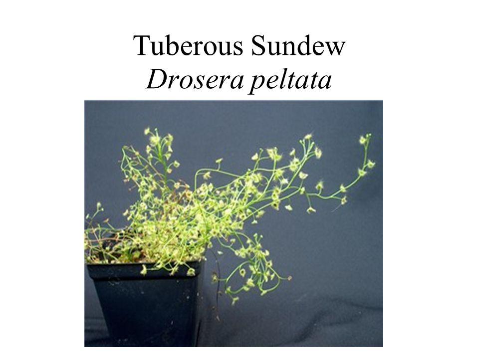 Tuberous Sundew Drosera peltata