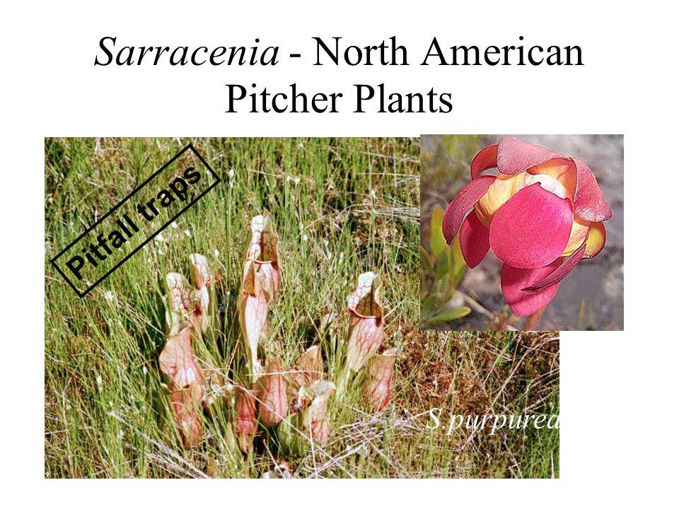 Sarracenia - North American Pitcher Plants S.purpurea Pitfall traps