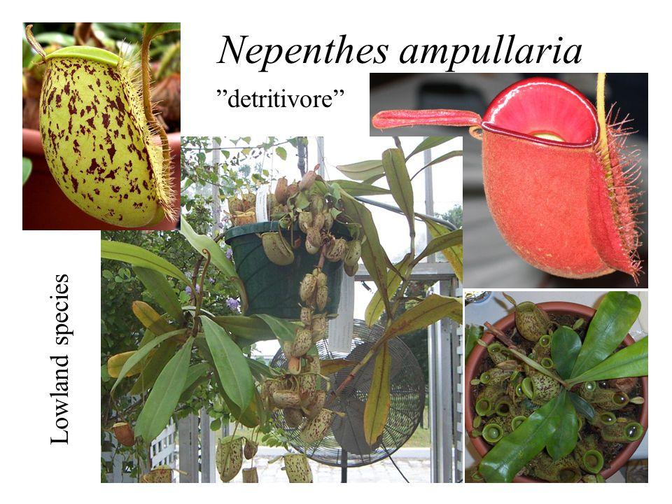 Nepenthes ampullaria detritivore Lowland species