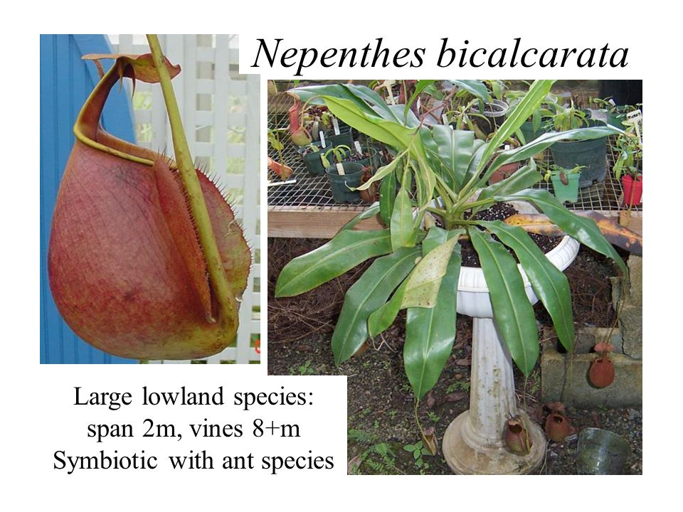 Large lowland species: span 2m, vines 8+m Symbiotic with ant species Nepenthes bicalcarata