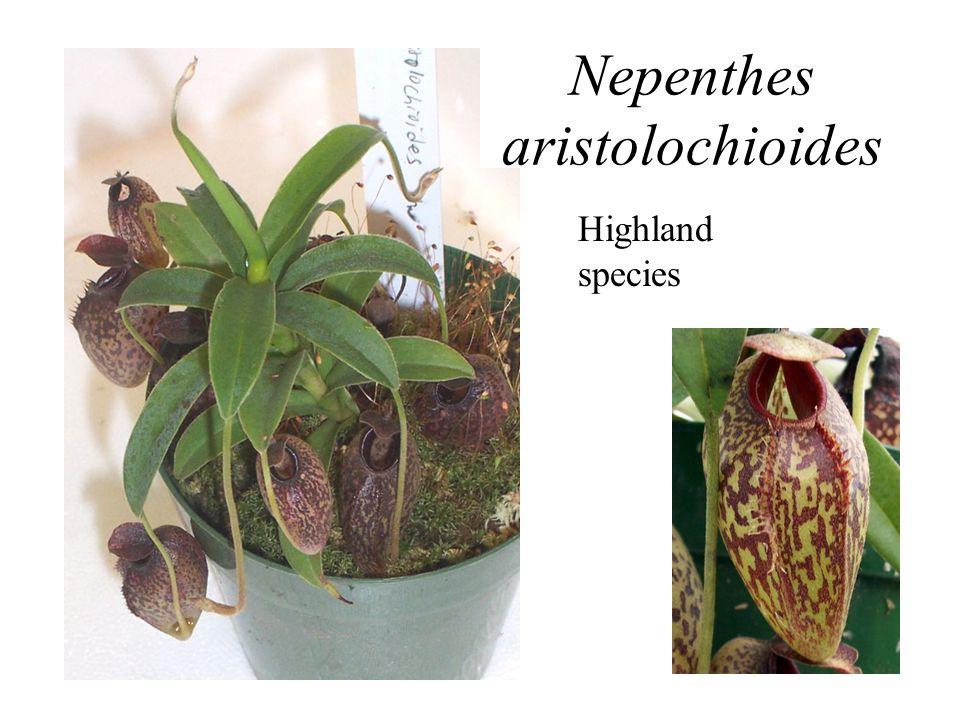Highland species Nepenthes aristolochioides Highland species