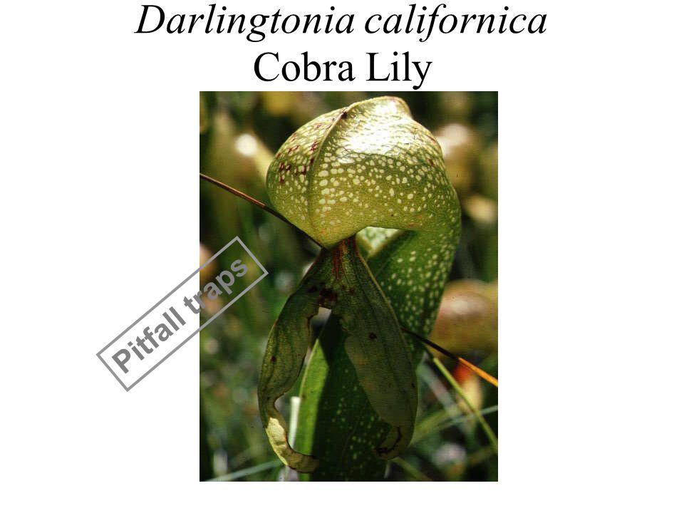 Darlingtonia californica Cobra Lily Pitfall traps