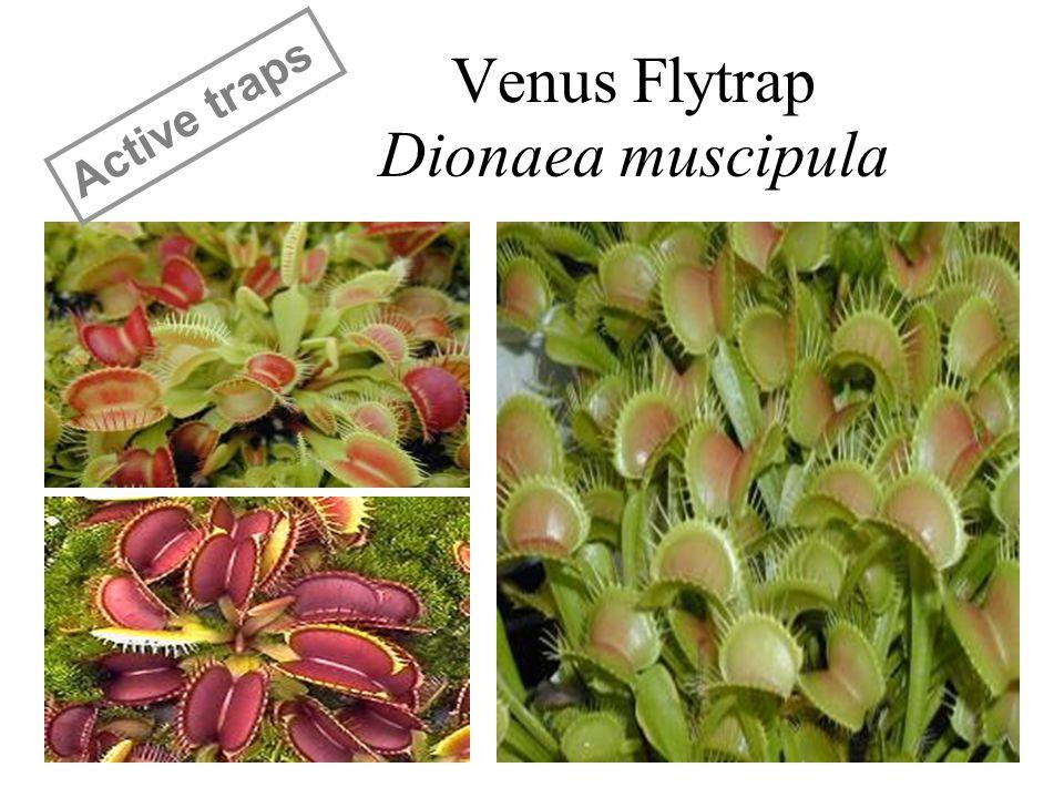 Venus Flytrap Dionaea muscipula Active traps