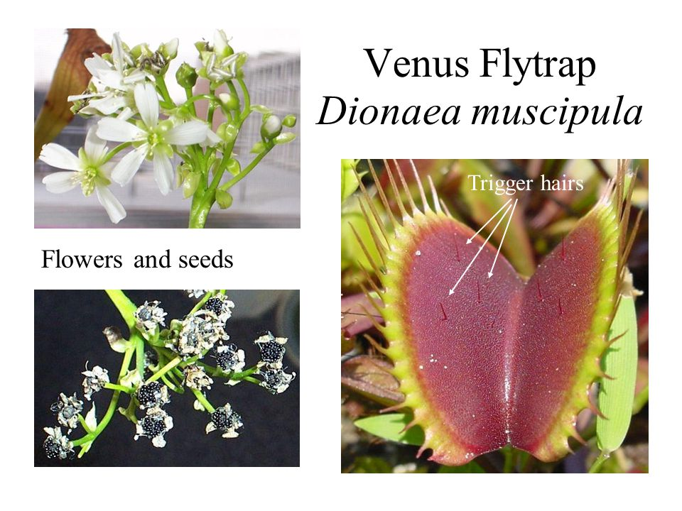 Venus Flytrap Dionaea muscipula Flowers and seeds Trigger hairs