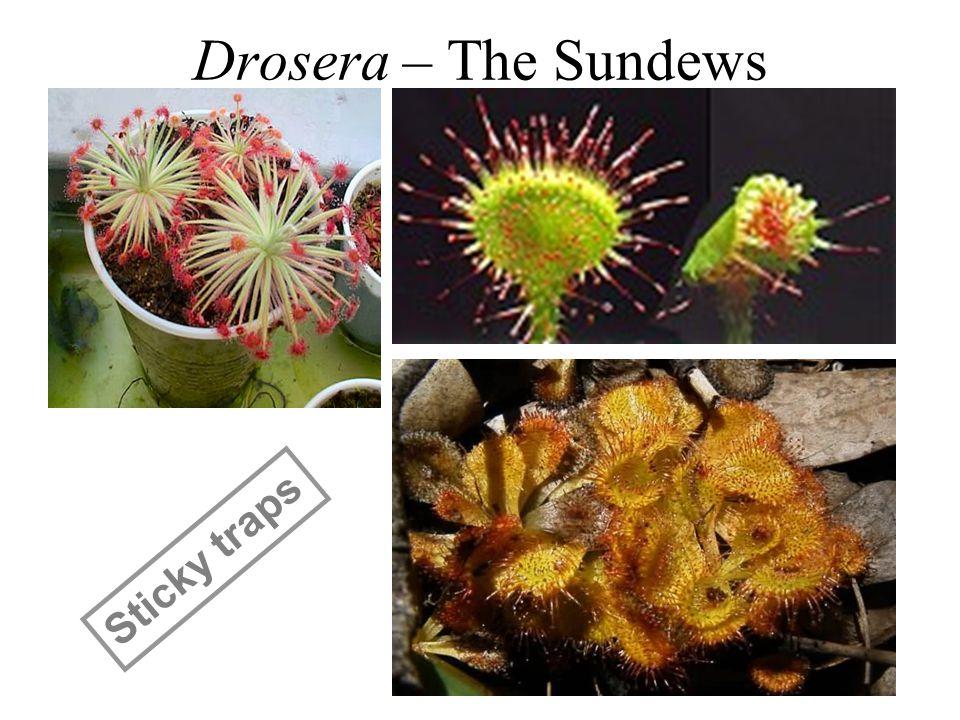 Drosera – The Sundews Sticky traps